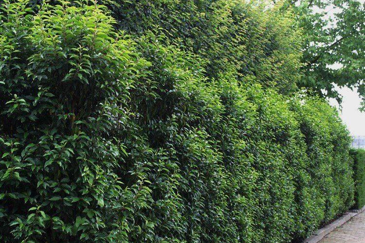 Portugiesischen Kirschlorbeer für den Vorgarten
