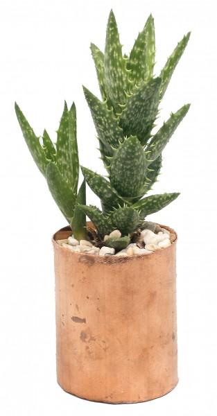 Kupertopf unbehandelt inkl. Pflanze